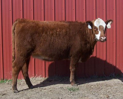 Osborn Red Angus
